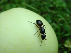 ant walking on a melon